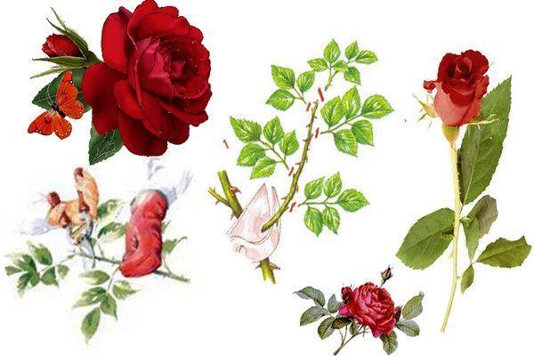 Info trucs et astuces - Dessin de rosier ...