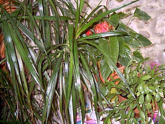 Pensez vos plantes d 39 int rieur for Arbuste interieur maison