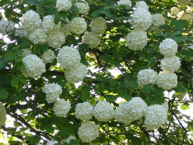 Ces arbustes fleuris qui aiment le soleil - Arbuste petites fleurs blanches ...