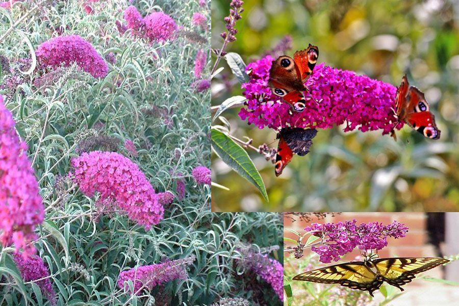Ces arbustes fleuris qui aiment le soleil - Au jardin de mon pere les lilas sont fleuris ...